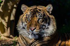 Tiger, Nahaufnahme, Tierwelt, Katze