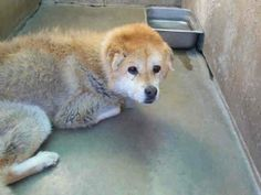 OC ANIMAL CARE, ORANGE, CA 92868 ...still in stray hold but URGENT!! 714-935-6848 rescues please call ASAP!!!! Sweet as butter dog very calm  ...currently in Lost and found...but will need a plan. Some sort of skin condition...: my guess flea allergy??? she is missing hair... I hope a rescue and foster will step up for this precious dog of 14 yrs.  https://www.facebook.com/photo.php?fbid=576756299071835&set=a.106702956077174.15088.100002124114226&type=1
