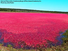 Harvest time NJ Cranberry Bogs