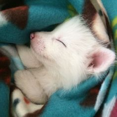 white fox cub rylai. The Internet's Cutest Snow-White Fox Is Growing Up!