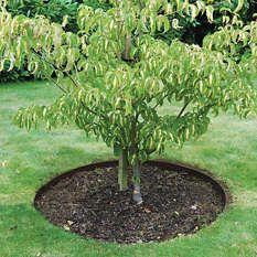 Everedge tree rings