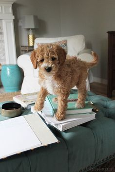 Introducing Bella The Australian Labradoodle, and talking about life with pets at home (today on The Inspired Room!)