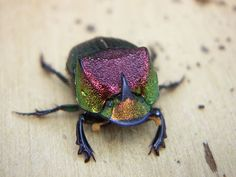 Rainbow Scarab, Phanaeus vindex, from Texas, USA by Todd Jackson via iNaturalist (cc-by-nc): http://www.inaturalist.org/observations/200077