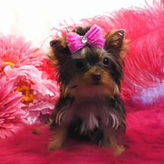 Sassy Butt - Teacup Chocolate Yorkie Puppy. She most likely will be around 2.5 - 3.0 lbs. full grown. She is AKC registered, microchipped and comes with a one year health guarantee. To view other teacup Yorkies visit http://www.elvisyorkshireterrier.com/teacupyorkiesforsale.php