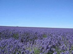 The list of Lavender uses is long. I use lavender essential oil in the home nearly every day of the week for something or other. All sorts of minor ills and accidents are easily and naturally treated using lavender oil, and my home made household...