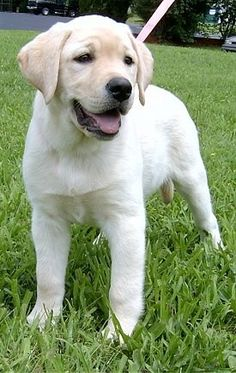 Another Cute Labrador Retriever Puppy