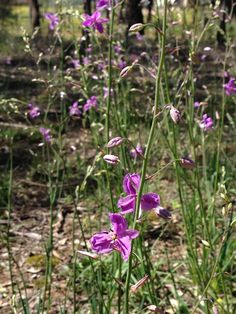 Arthropodium strictum  - Chocolate Lily   Synonym:	Dichopogon strictus