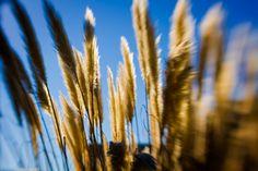 Urbanna, Virginia photowalk. Lens: MUSE by lensbaby. pampas grass. golden sun
