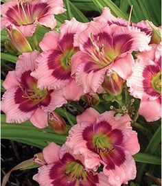 Daylily, 'Mardi Gras Parade' - Stunning large flowers with distinctive pink color pattern. This easy to grow daylily produces masses of colorful, blooming mounds in summer. Fantastic in the garden and equally impressive in the vase. Types Of Flowers, Large Flowers, Lavender Flowers, Pink Flowers, Amazing Flowers, Beautiful Flowers, Daylily Garden, Belle Plante, Day Lilies