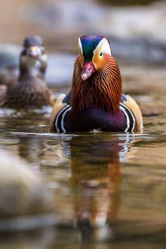 143 Meilleures Images Du Tableau Mandarin Duck En 2019 Mandarin