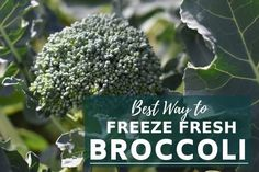 Best Way to Freeze Fresh Broccoli. Freezing broccoli is simple to do with just a few steps. Freeze broccoli straight from the garden and retain its flavor, texture and nutrition. Preserving fresh broccoli after harvesting is easy. Can You Freeze Broccoli, Freezing Broccoli, Freezing Vegetables, Frozen Broccoli, Fresh Broccoli, Frozen Vegetables, Veggies, Gardens, Flowers