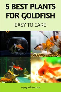 Wondering, Do Goldfish Like Plants in the Tank? Well, in this article, I'm going to answer the same question. I'll also tell you best aquarium plants for goldfish. You can keep these plants in your goldfish tank or aquarium no matter which type of goldfish you have whether that is oranda, fancy, ranchu, black moore, shubunkin, or comet. #aquarium #freshwateraquarium #fishtank #plantedtank #aquascaping #golddfish#goldfishtank#goldfishaquarium Freshwater Aquarium Plants, Live Aquarium Plants, Planted Aquarium, Freshwater Fish, Goldfish Care, Goldfish Food, Goldfish Types, Cichlids, Aquascaping