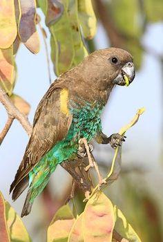 Meyer's Parrot (Poicephalus meyeri), sub-Saharan Africa.
