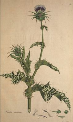Milk Thistle - Silybum marianum - Medicinal and ornamental herb - Grows 3-4 feet tall - Leaves veined milky-white - 2 inch purple flowers in summer - All parts of the Milk Thistle plant are edible - Silymarin, known for liver protecting and rebuilding properties is found in the seeds - circa 1781