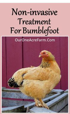Non-invasive Treatment for Bumblefoot. Easy for you and painless for the chicken. Detailed description of this treatment which is effective against Staphylococcus aureus, a common cause of bumblefoot.
