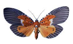 Peridrome Subfascia moth (Chaing Mai Thailand)