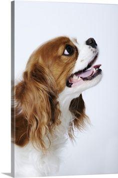 41fdd7b60c7 Premium Thick-Wrap Canvas Wall Art Print entitled Cavalier King Charles  Spaniel