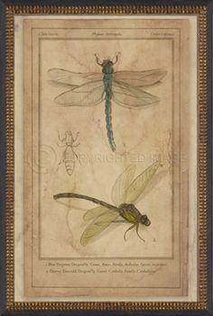 NT Dragonflies