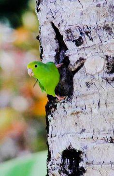 Maar ook kleine papegaai stelletjes bezoeken onze tuin regelmatig.