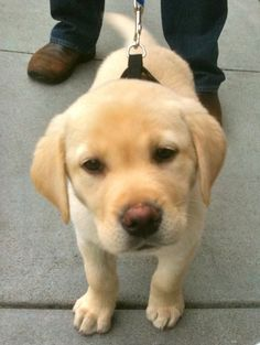 yellow lab puppy picture funny - Google Search