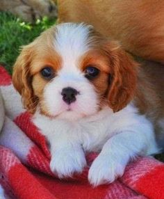The many things we all enjoy about the Energetic Cavalier King Charles Spaniel Puppies Puppies And Kitties, Cute Puppies, Pet Dogs, Pets, Puppies Tips, Kittens, Beautiful Dogs, Animals Beautiful, Most Expensive Dog