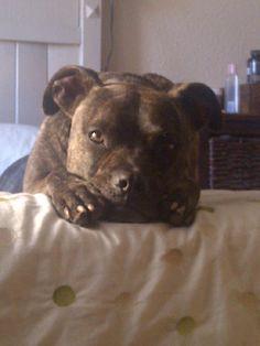 Maximus, the Staffie-cross-Boxer Rescue