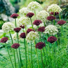 Allium Bulbs - Purple & White Mix - Dobies of Devon