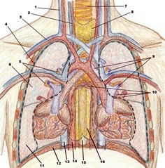Time Lord cardiovascular system illustration - location of organs in thoracic cavity.  Source: http://amica_temporis.home.insightbb.com/xenobiology/cardiovascular.html