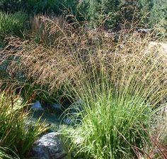 "Molinia arundinacea - Tall Moor Grass. 32""-40"" tall w/ 60-100"" tall flowers.  Part-sun."