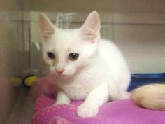 Hello there! Are you looking for a sweet kitten to brighten up your life? If you answered yes, then look no further! My name is Aztec, and I am the kitten for you. I am a spayed female, white Domestic Shorthair and I am about 8 weeks old. (ID#A075932)
