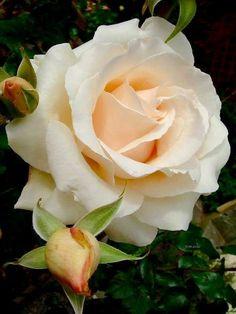 Roses #Ageless  #agelessvenezuela #maquilaje