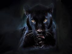 A black panther is typically a melanistic color variant of any of several species of larger cat. In Latin America, wild 'black panthers' may be black jaguars; in Asia and Africa, black leopards ; Black Panthers, Black Tigers, Beautiful Cats, Animals Beautiful, Simply Beautiful, Beautiful Creatures, Magical Creatures, Beautiful Gorgeous, Big Cats