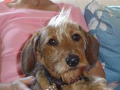 mohawk dachshund  #Doxie Darlin' ♥ LOVE