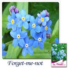 Buy 2 Get 1!(Can accumulate ) 1 Pack 50 pcs Myosotis Sylvatica China's Garden Flower seeds A102