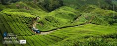 Curvy Tea, by Greg Goodman - While backpacking through Malaysia, I managed to break the world's largest flower, get a self-diagnosed case of swine flu and take a tour BOH Tea Plantation in Tana Rata...