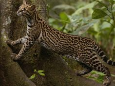 Ocelot Animal | Facts Information & Latest Pictures | All Wildlife Photographs