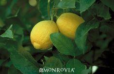 Dwarf Lisbon Lemon - Monrovia - Dwarf Lisbon Lemon