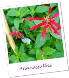 Ananassalbei - pineapple sage