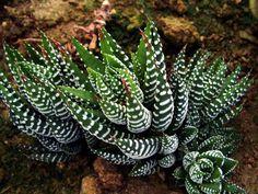 Types of Succulent Plants   Plant Botanical Name : Haworthia fasciata                                                                                                                                                                                 More