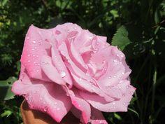 Роза ЧГ Парадиз Paradise, Небо в огне Burning Sky или Страсть Passion в начале роспуска в прохладную погоду.