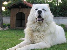 Caucasian Shepherd Dog Pictures, Information and videos Caucasian Dog, Caucasian Shepherd Dog, Shepherd Dogs, Russian Caucasian, Beautiful Dogs, Animals Beautiful, Cute Animals, Pitbull, Big Dogs