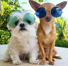 Puppy with sun glasses