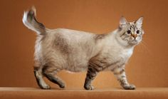 The American Bobtail is a medium-size, muscular cat weighting seven to 16 pounds. His somewhat shaggy coat may be long or medium in length and can be any color or pattern.  Learn more about American Bobtail history, breeders, health, grooming, and more.