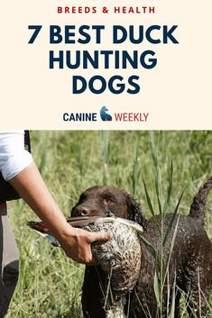 Retrieving Dog Breeds to Know - One of the most amazing talents some dogs possess is the ability to fetch items and bring them back to their owner, such as when duck hunting. This retrieving instinct is particularly well-developed in a small number of dog Duck Hunting Dogs, Dove Hunting, Hunting Guns, Lazy Dog Breeds, Puppy Breeds, Duck Retriever, Designer Dogs Breeds, Smartest Dog Breeds, Hypoallergenic Dog Breed