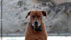 Rhodesian Ridgeback Actor Aartijn    http://rhodesianridgeback-bb.de/