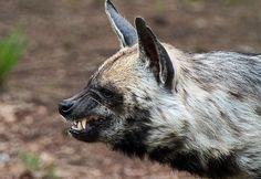 (Hyena Hyena  ), gestreepte hyena Beekse bergen IMG_0104 by j.a.kok, via Flickr