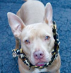 Manhattan Center ANNABELLE – A1065448 **SAFER: AVERAGE HOME** SPAYED FEMALE, TAN / WHITE, AMERICAN STAFF MIX, 4 yrs OWNER SUR – ONHOLDHERE, HOLD FOR ID Reason NO TIME Intake condition EXAM REQ Intake Date 02/18/2016, From OUT OF NYC, DueOut Date 02/26/2016,