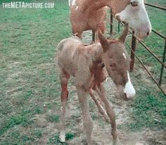 Horse learning how to horse…like how momma horse looks all concerned. like OMG BABY WHAT HAPPENED YOU WERE DOING SO WELL! I LOOKED AWAY FOR 3 SECONDS