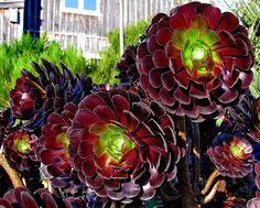 Aeonium Arboreum Succulent Plants
