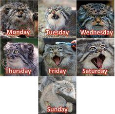 """The Manul Cat seems very expressive, so I made it into a week-calendar "" Via reddit, /u/delfury"